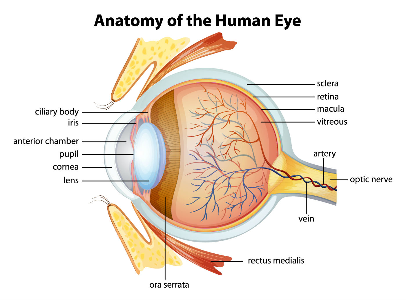 Stem Cell Therapy For Optic Nerve