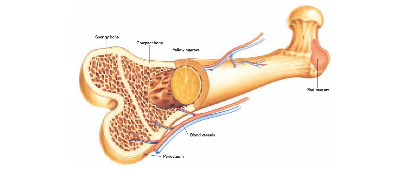 Stem cell therapy for bone marrow